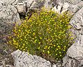 Thymophylla pentachaeta var belenidium 5.jpg