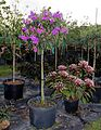 Tibouchina Granulosa (Purple Glory Tree) (28893364745).jpg