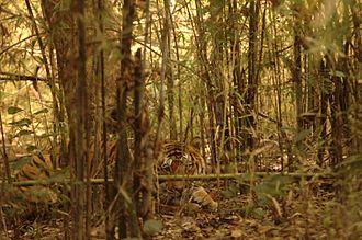 Kanha Tiger Reserve - Image: Tiger in kanha
