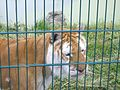 Tiger at Isle of Wight Zoo 2.jpg