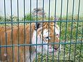 Tiger at Isle of Wight Zoo 2.jpg
