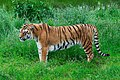 Tiger on the prowl (7434808032).jpg