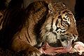 Tiger with a nice bone (4264220620) (2).jpg
