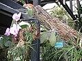 Tillandsia usneoides parc floral Paris.JPG