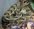 Timber Rattlesnake 001.jpg