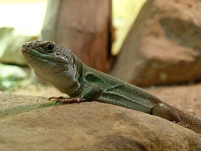 Timon pater tangitanus (North african ocellated lizard) in Prague ZOO(taken through the glass)