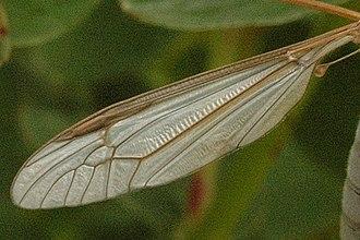 Tipula oleracea - wing detail