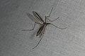 Tipula oleracea (36527609876).jpg