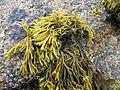 TomCorser Seaweed 3.jpg