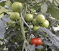 Tomaten-Treibhaus.jpg