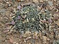 Torrey milkvetch, Astragalus calycosus var. calycosus (37742361295).jpg