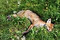 Toter Fuchs am Straßenrand.jpg