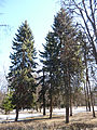 Trees in Memorial park 05.JPG