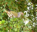 Treron calvus glaucus, in vyeboom, j, Pretoria.jpg
