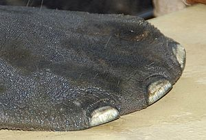 Evolution of sirenians - A manatee's toenails. Manatee share common ancestry with elephants.