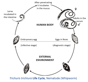Image Result For Life Cycle Wikipedia