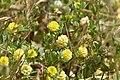 Trifolium campestre 01 01.jpg