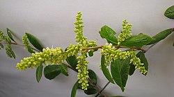 Trigonia nivea Cambess. var. pubescens (Cambess.) Lleras - Flickr - Alex Popovkin, Bahia, Brazil (22).jpg