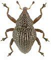 Trigonopterus parvulus holotype - ZooKeys-280-001-g060.jpg