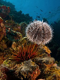 Tripneustes ventricosus (West Indian Sea Egg-top) and Echinometra viridis (Reef Urchin - bottom).jpg