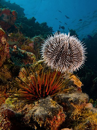 Sea urchin - Tripneustes ventricosus and Echinometra viridis, two species of tropical sea urchins.