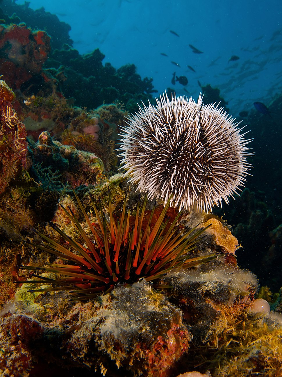 Tripneustes ventricosus (West Indian Sea Egg-top) and Echinometra viridis (Reef Urchin - bottom)