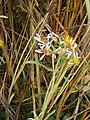Tripolium pannonicum RHu 01.JPG