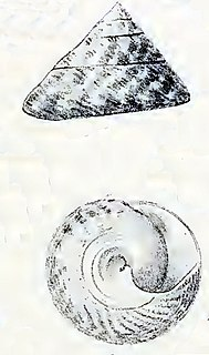 <i>Trochus kochii</i> species of mollusc