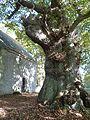 Tronc du chêne pédonculé (Saint-Jacut-du-Mené).jpg