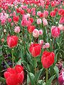 Tulip - floriade canberra04.jpg