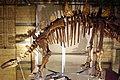 Tuojiangosaurus skeleton NHM.JPG