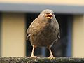 Turdoides striatus Jungle Babbler.jpg