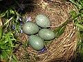 Turdus merula nest.jpg