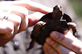Turtle in hand (17301324535).jpg