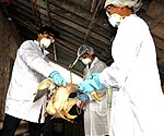 USAID helps Vietnam combat bird flu (5071423264).jpg