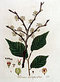 Ulmus campestris — Flora Batava — Volume v4.jpg