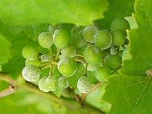 grappe de raisin vert saupoudrée de blanc