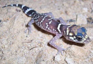 <i>Underwoodisaurus</i> Genus of lizards