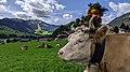 Une vache après la Descente.jpg