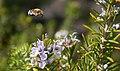 Unidentified Digger Bee (Amegilla sp.), Playa Blanca, Lanzarote (25070202621).jpg