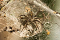 Unidentified funnel spider, Magelang, Indonesia 2015-05-03 01.jpg