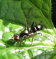 Unknown.ant.mimicking.fly.dorsal.jpg