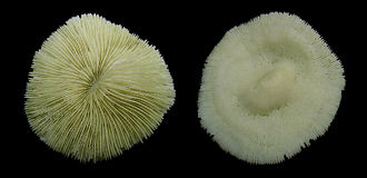 Fungiidae - Image: Unknown Coral Front and back Macro