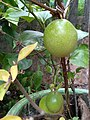 Unripe passion fruit.jpg