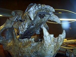 Ursus deningeri - Skull of Ursus deningeri