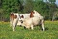 Vaches allée Pré Brus St Cyr Menthon 5.jpg