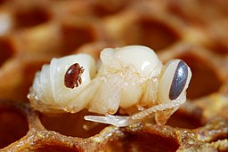 256px-Varroa_destructor_on_a_bee_nymph_%285048094767%29.jpg