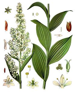 Melanthieae tribe of plants