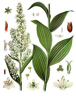 Veratrum lobelianum - Köhler–s Medizinal-Pflanzen-279.jpg