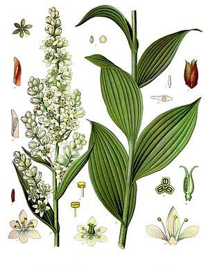 Veratrum - Image: Veratrum lobelianum Köhler–s Medizinal Pflanzen 279